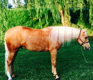 Infinite Powers 2014 AQHA Flashy Gelding; sired by Infinity Little Step out of Von Miss Taffy