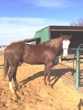 AQHA  FLASHY 2YR OLD REINING PROSPECT  $8500.00