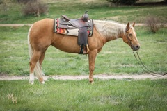 Beautiful Palomino Derby Mare
