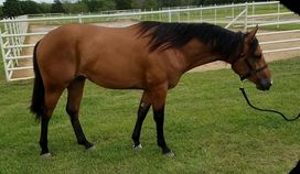 Very nice Two Year Old Gelding