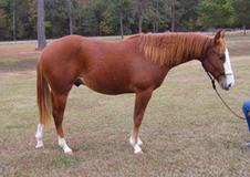 PRICE REDUCE FOR QUICK SALE 2015 APHA Solid Sorrel Stallion ​NRHA< NRBC nominated