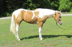 Palomino Mare by great son of custom legend homozygous for tobiano