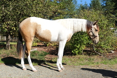 Gorgeous, buckskin Big Chex to Cash filly