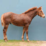 AQHA Grandson of High Brow Cat whose offspring have earned over $52 million
