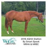 Serious Prospect! 2016 AQHA Stallion by Smart Spook - NRHA/NRBC