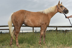 GORGEOUS PALOMINO FILLY BY SHOW ME THE BUCKLES OUT OF OWN DAUGHTER OF PEPPY BADGER CHEX