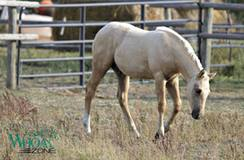 2017 AQHA Stallion by Shiners Q Chex by Shining Spark