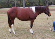 already started Custom Color Pocodot 2015 Bay Tobiano mare