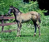 Will be able to go any direction! 2017 GRULLA AQHA Filly by Whiz Van Winkle