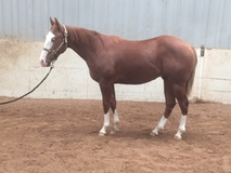 Fancy two year old gelding.