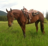 Competitive reining mare