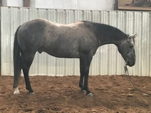Easy to ride non pro/youth gelding