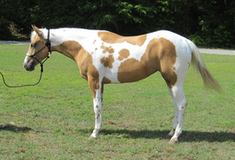 2015 Palomino Tobiano Mare that is Homozygous for Tobiano gene