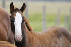 Colt by Chocolate Chic Olena