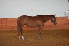6 Year Old Reining/Ranch Riding Mare