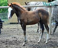2017 AQHA Colt by Chocolate Chic Olena out of a Shining Spark Mare