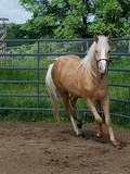 Palomino colt out of a son of Nu Chex to Cash