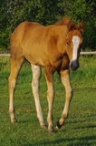 Sorrel Splash filly by Gun Dealer and out of a daughter of Wimpys Little Step