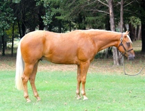 Flashy 2 year old gelding, Wimpys Little King