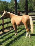 Super bred Pale Face Dunit Palomino colt